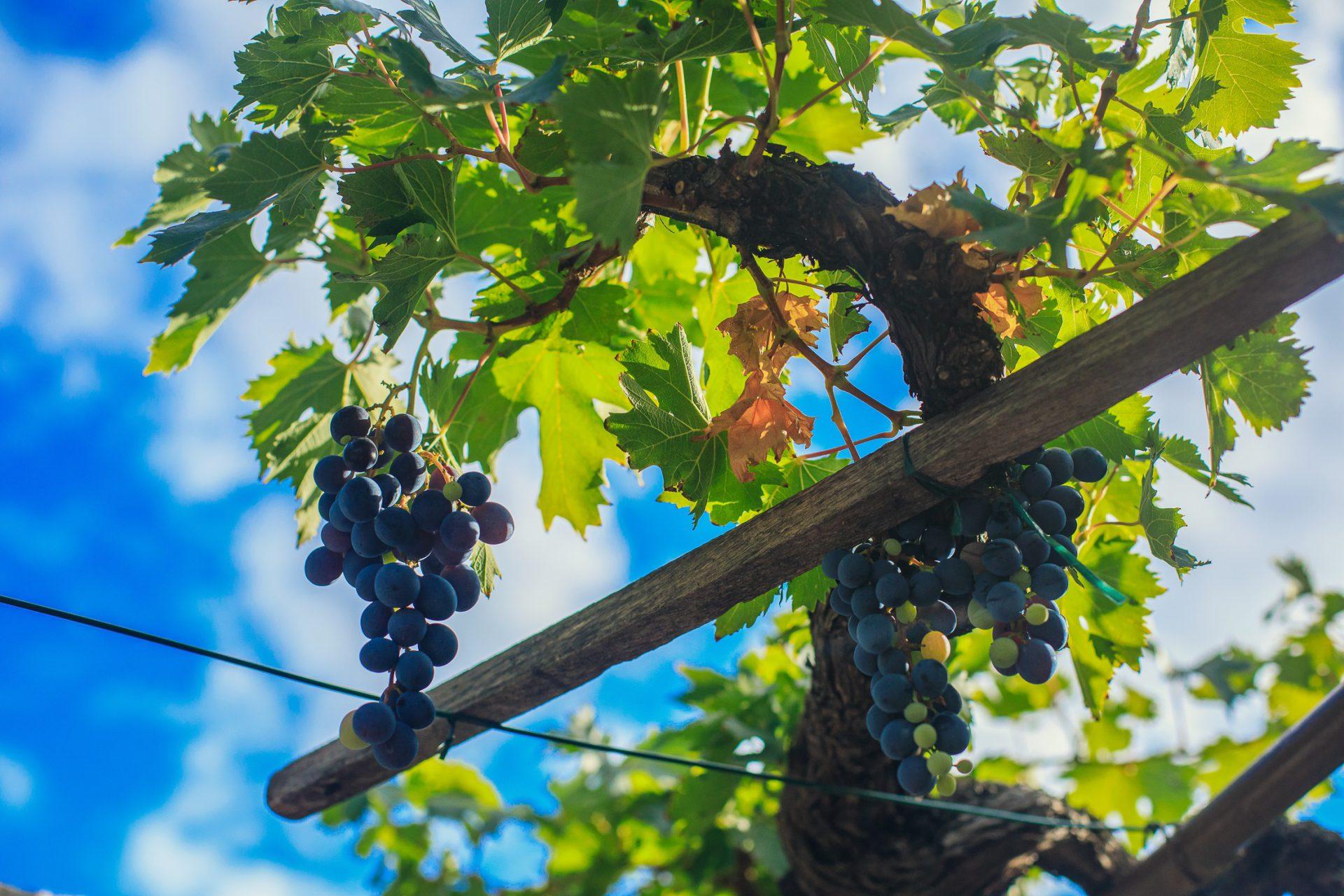 Najava Javnog natječaja za mjeru Ulaganja u vinarije i marketing vina -  Agencija za plaćanja u poljoprivredi, ribarstvu i ruralnom razvoju